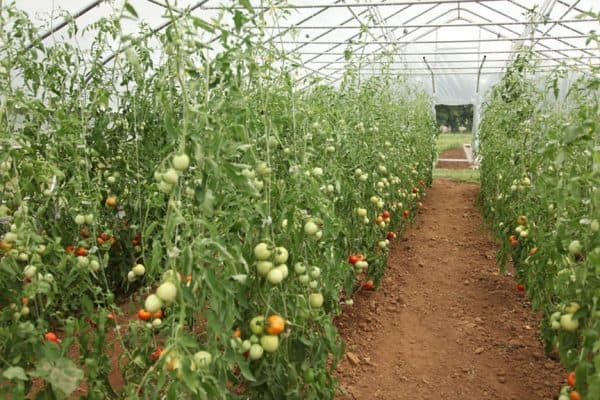 Hoop House Tomatoes