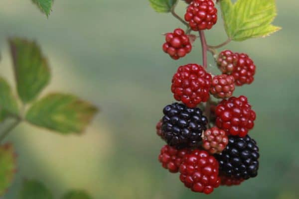 Hanging Blackberries